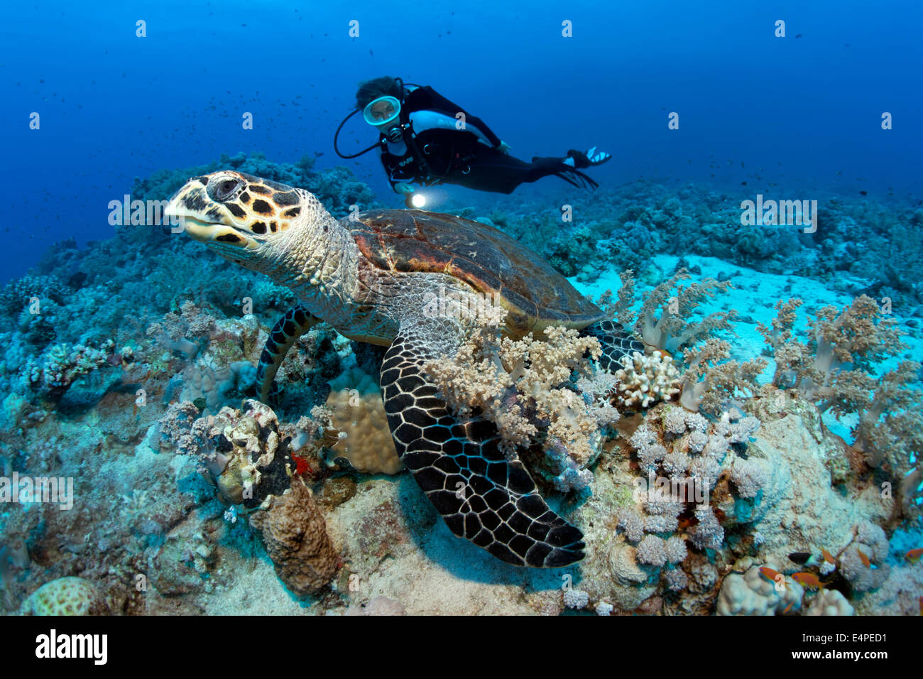 Scuba diver watching a Loggerhead Sea Turtle (Caretta caretta) at ...