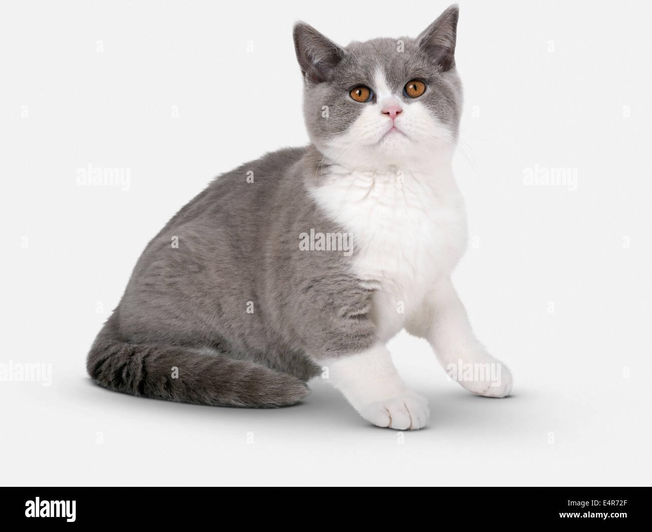 Blue and white British Shorthair Bicolour kitten Stock