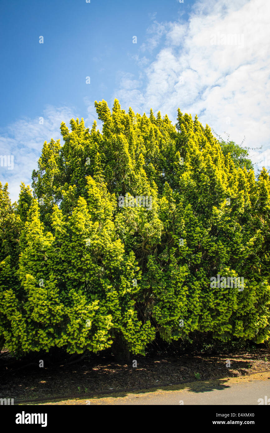 Common or european yew tree taxus baccata kew royal for Garden yew trees