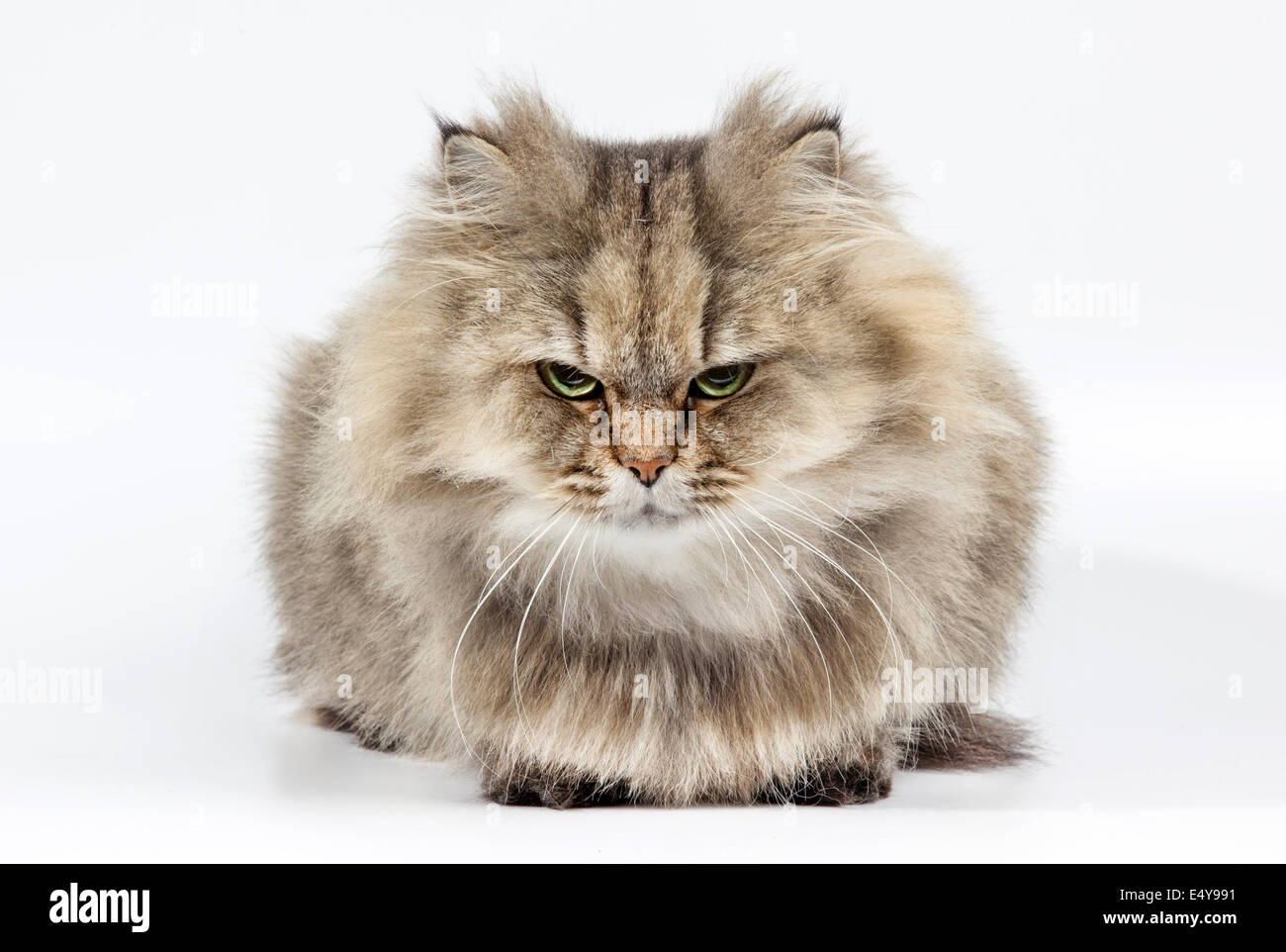Angry persian cat golden chinchilla Stock Royalty Free