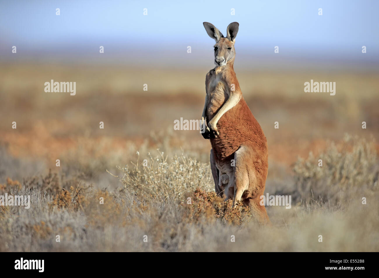 the red kangaroo: macropus rufus essay View essay - kangaroo from english 101 at deer park high school, deer park sheep they regurgitate the vegetation they have eaten, chew it ascud, and then swallow it again for final digestion.