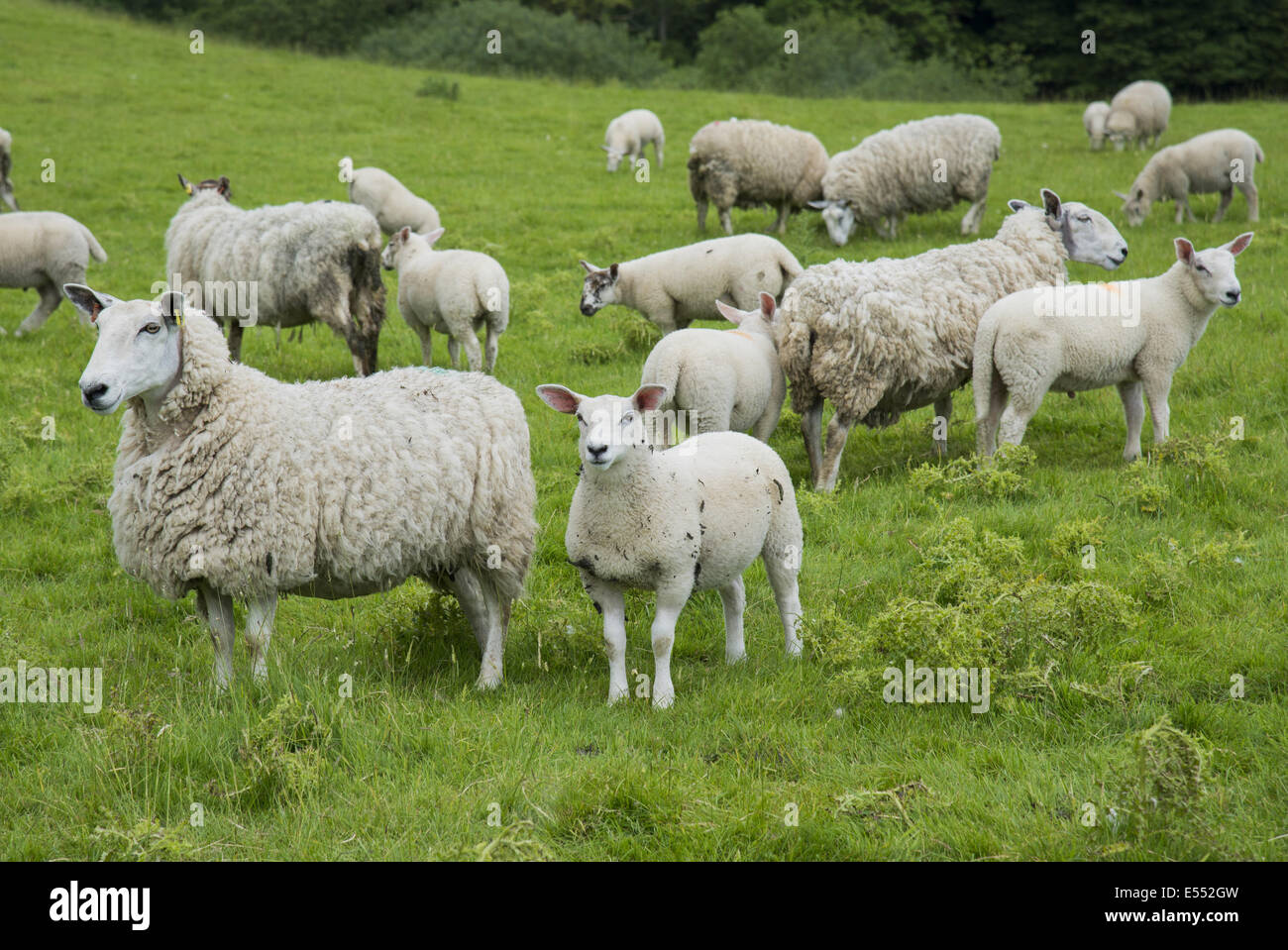 domestic sheep cheviot mule ewes with lambs standing in pasture