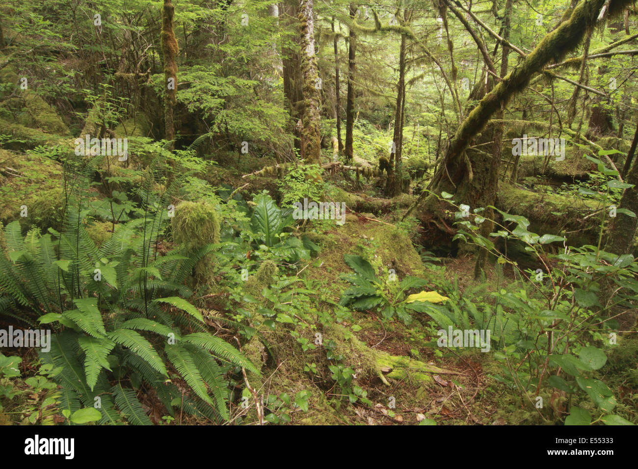 Ferns and moss covered trees in temperate coastal rainforest ...