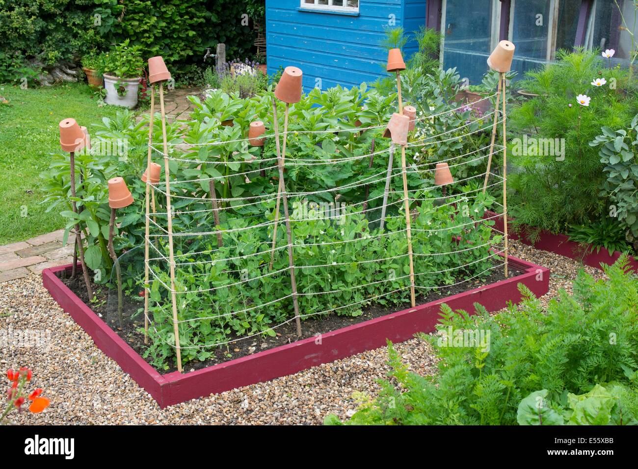 Stock Photo   View Of Small Raised Bed With Garden Peas, U0027Kelvedon Wonderu0027,  Supported By Canes And Garden Twine, England, July, England July