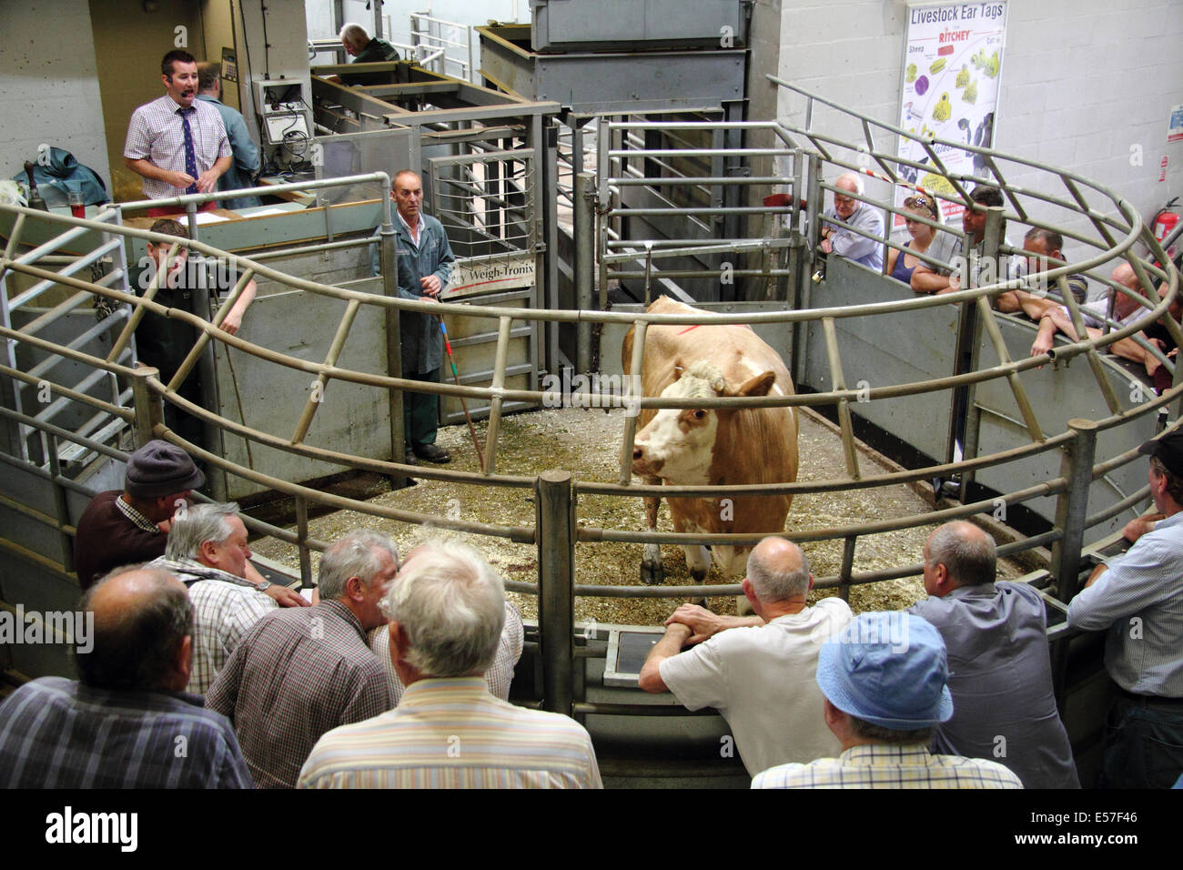 Stock options cattle sales