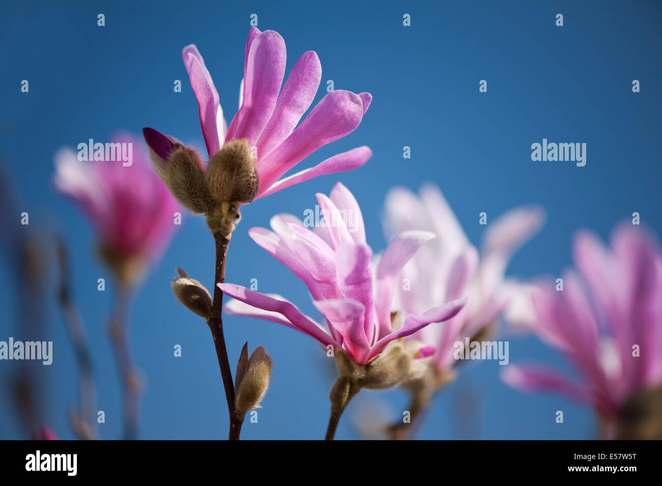 Magnolias Another Sign Of Early Spring >> Vibrant pink Magnolia flowers in early spring Stock Photo, Royalty Free Image: 72088180 - Alamy