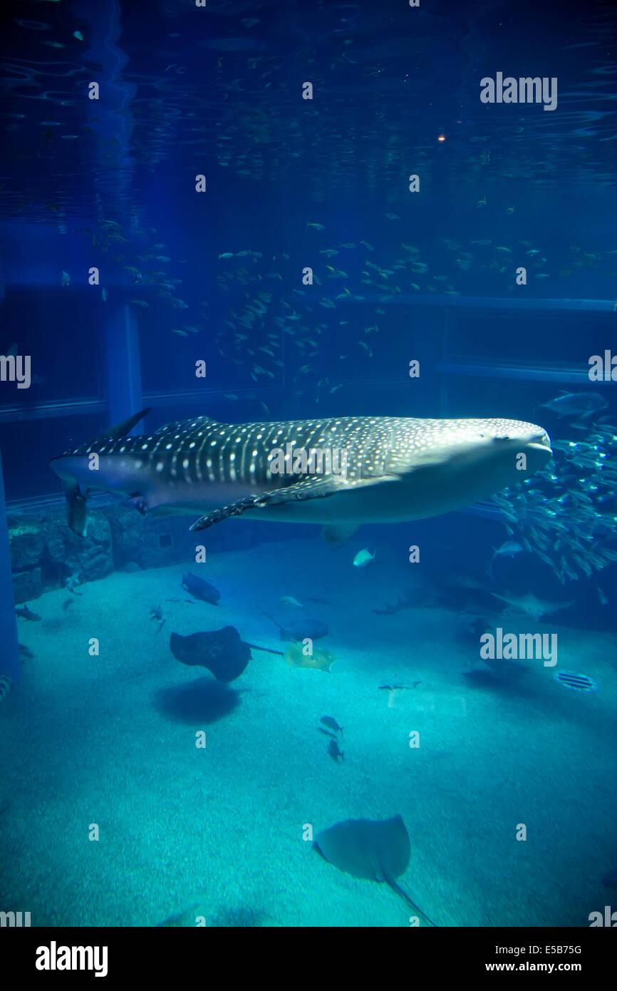 Fish in tank swimming - Whale Shark Sharks Fish Stingrays Sea Animals Swimming In Water Tank At