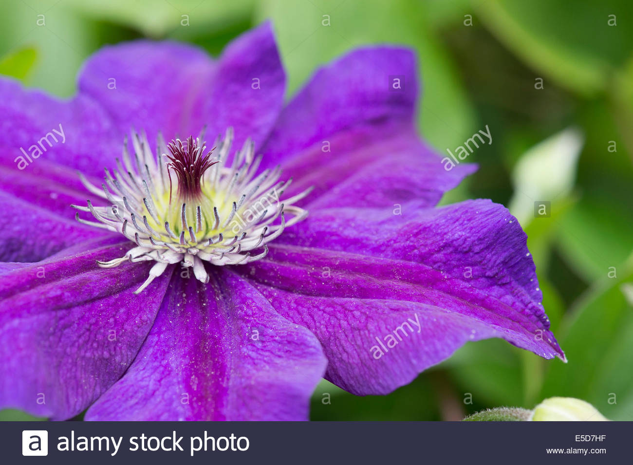 Clematis happy birthday stock photos clematis happy birthday clematis happy flower stock image dhlflorist Gallery