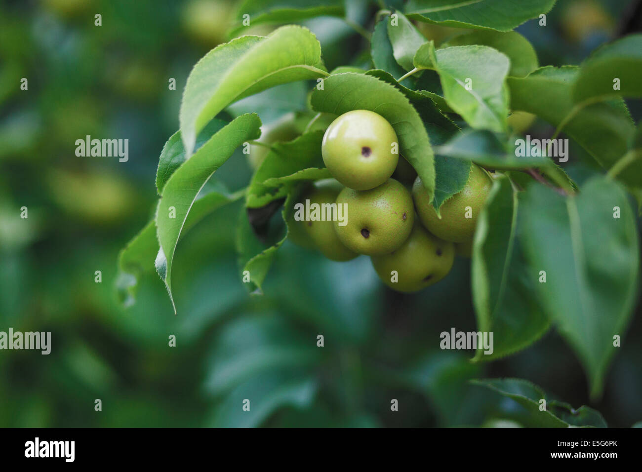 asian pear tree in my backyard stock photo royalty free image