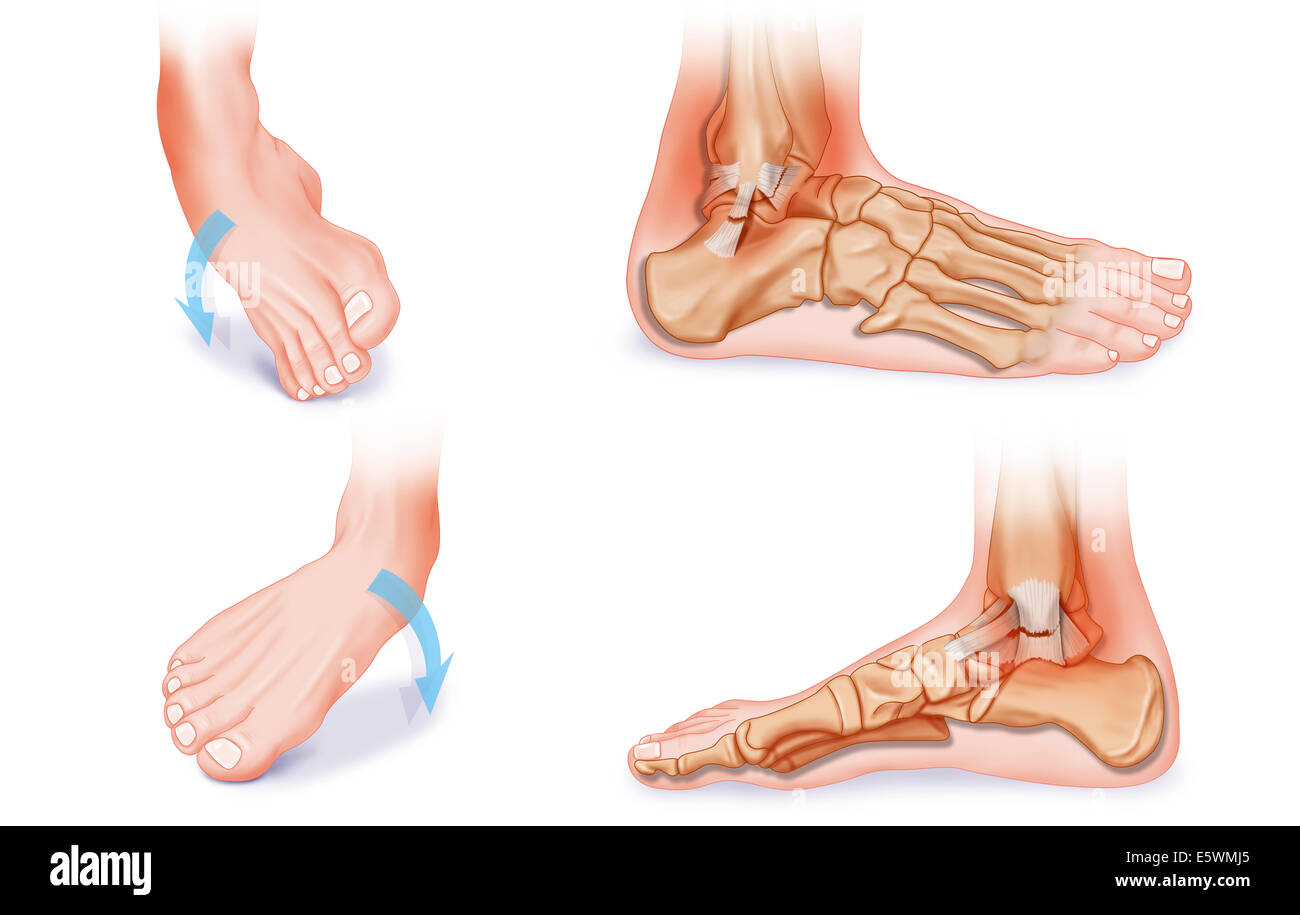 Ankle sprain anatomy 8140944 - follow4more.info
