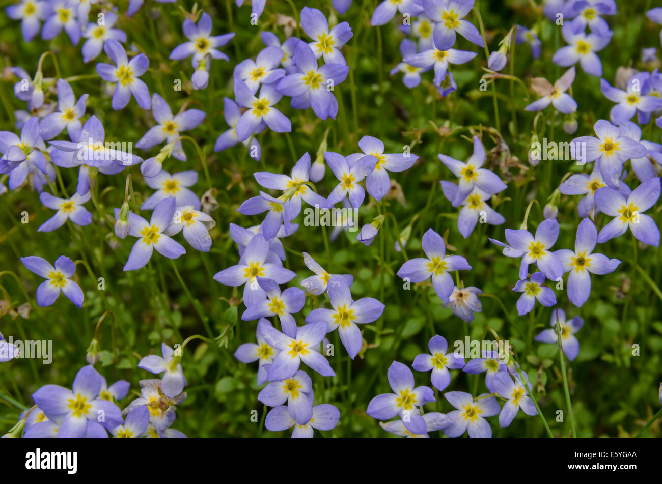 tiny purple flowers with yellow centers coat the sides of the, Beautiful flower
