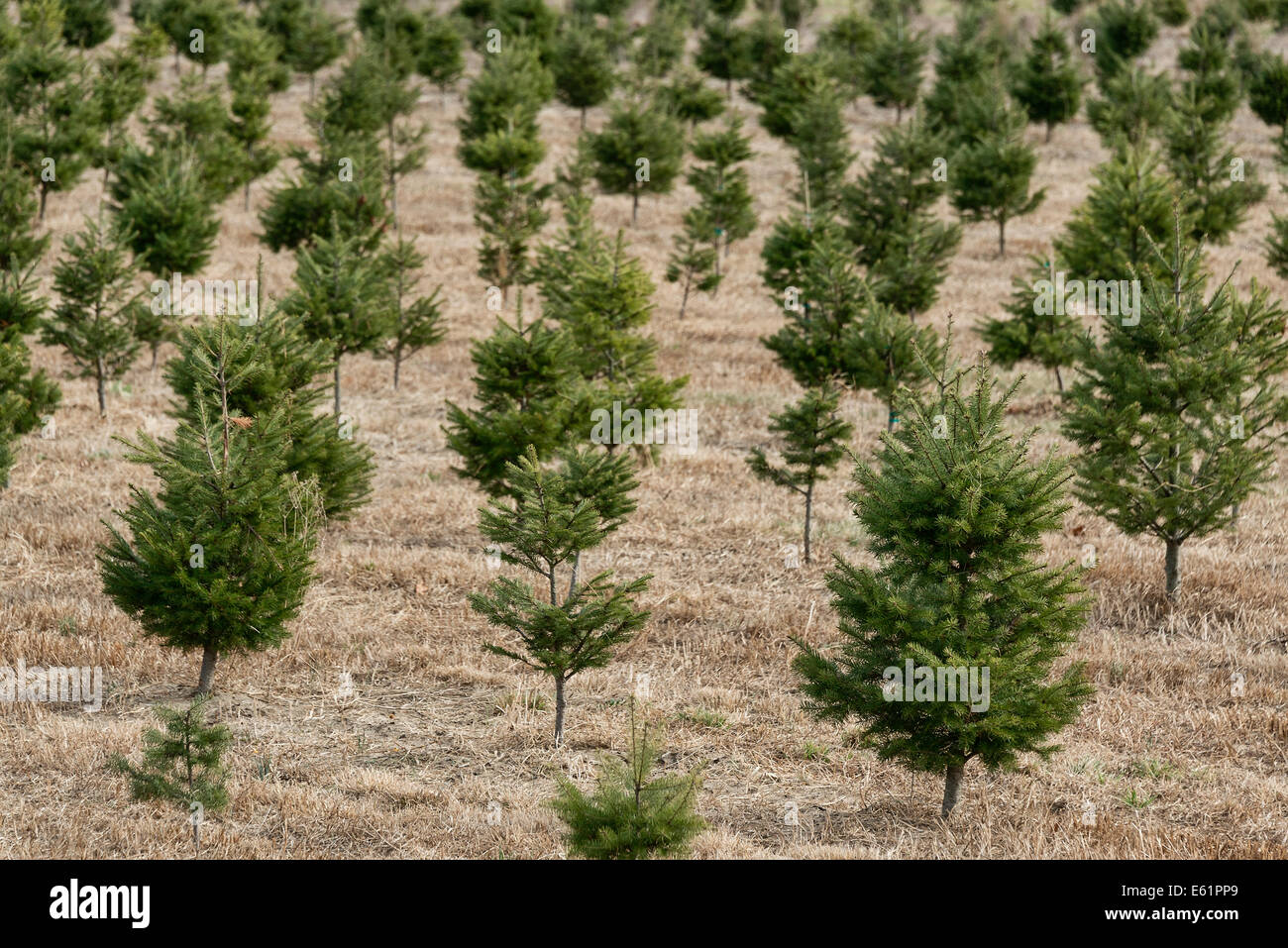 Live Christmas Tree Farms