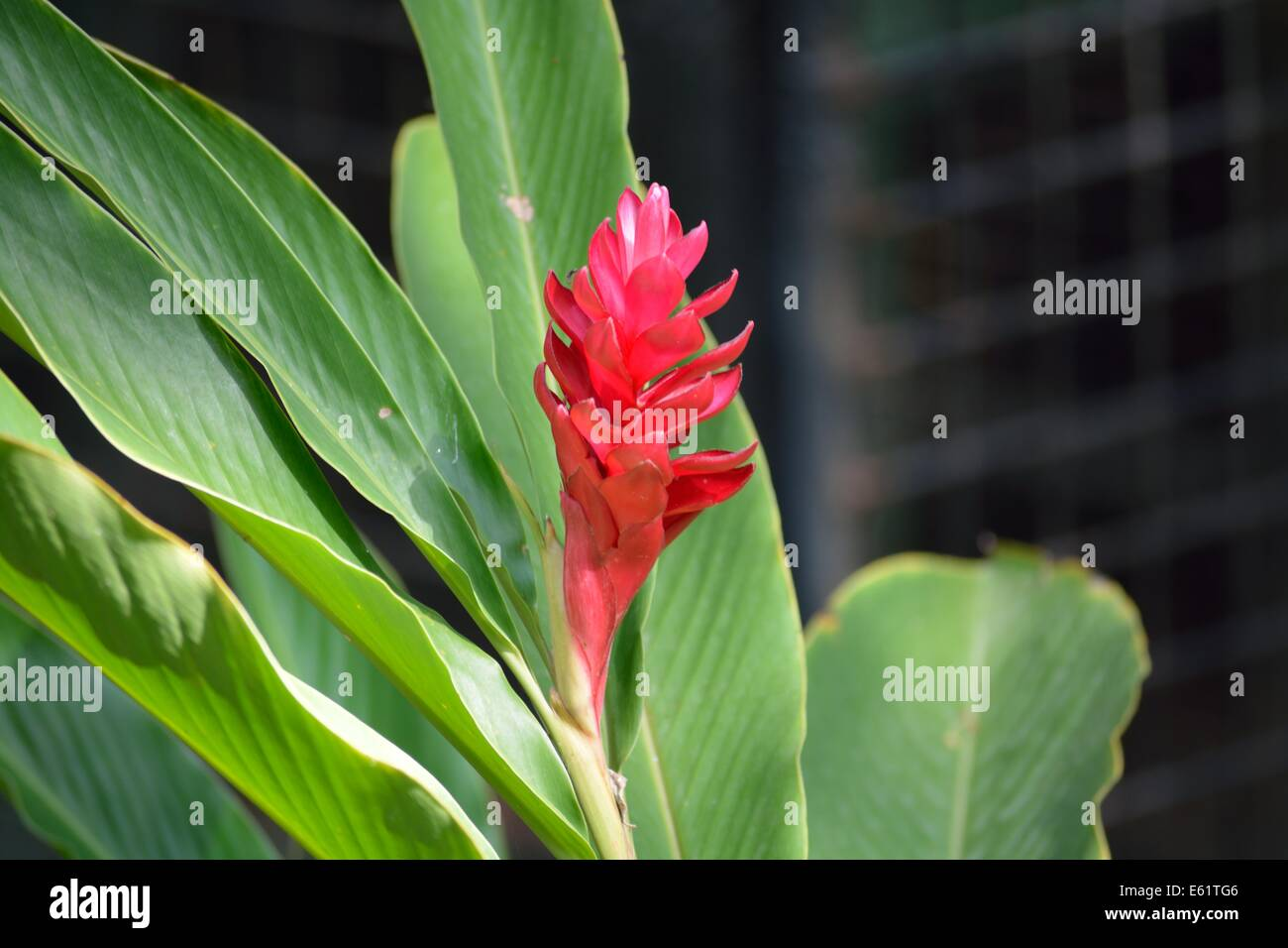 Chaconia Stock Photos Images