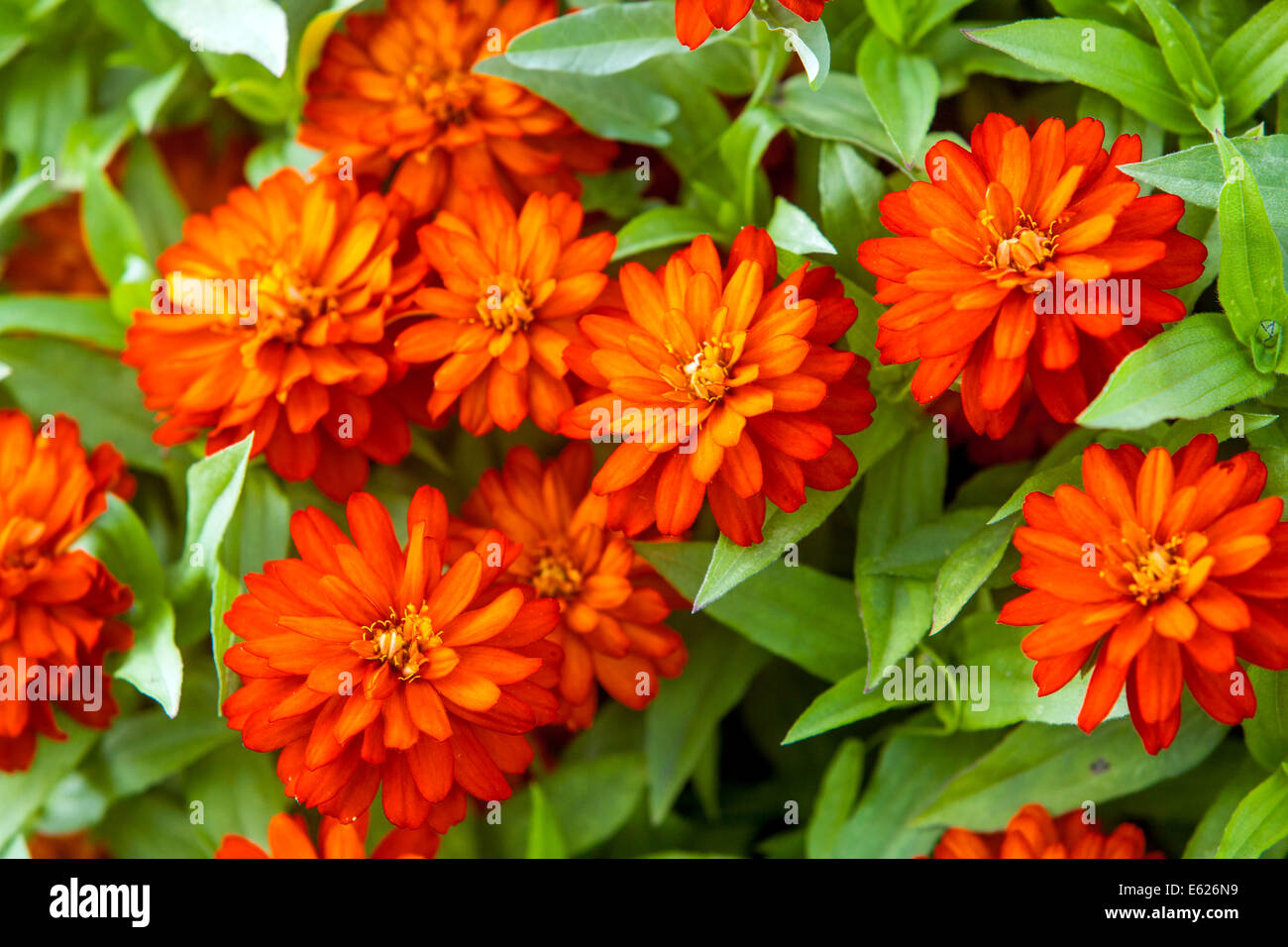 Colorful Annual Flowers