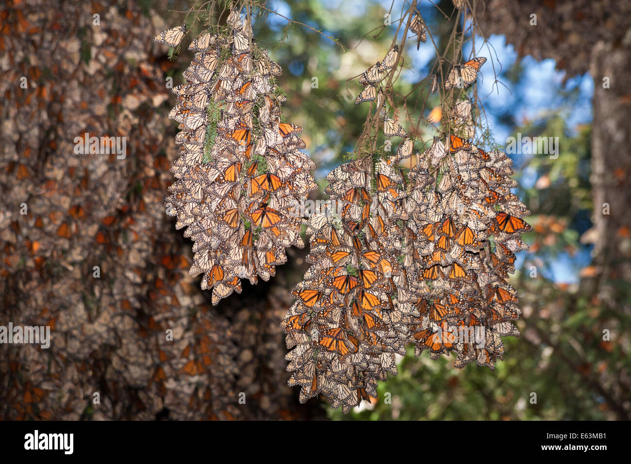 Monarch butterfly migration tree - photo#41