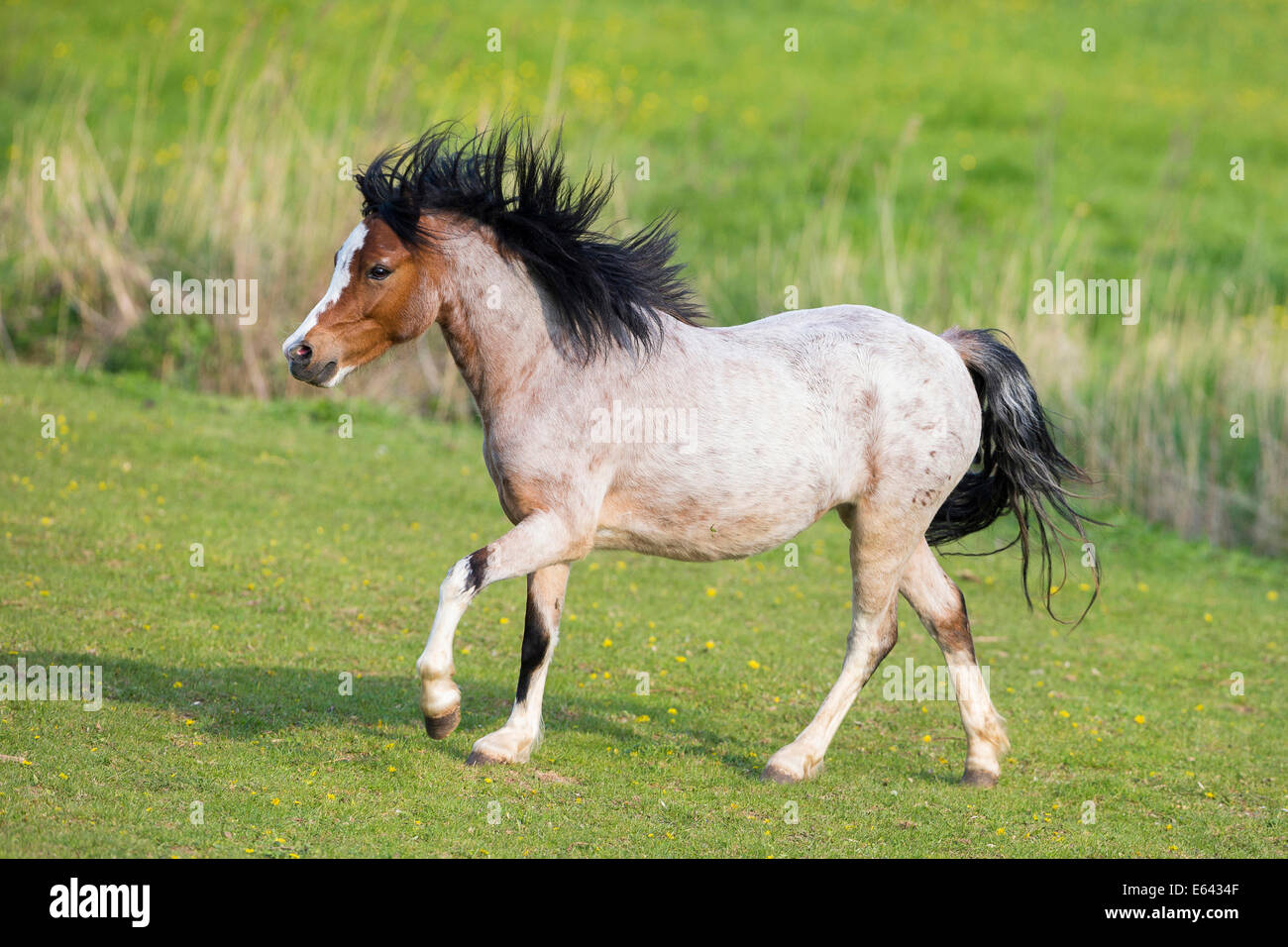welsh mountain pony juvenile strawberry roan mare