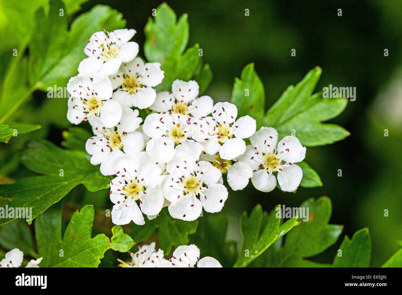 Crataegus monly called hawthorn or May Blossom white flowers Stock