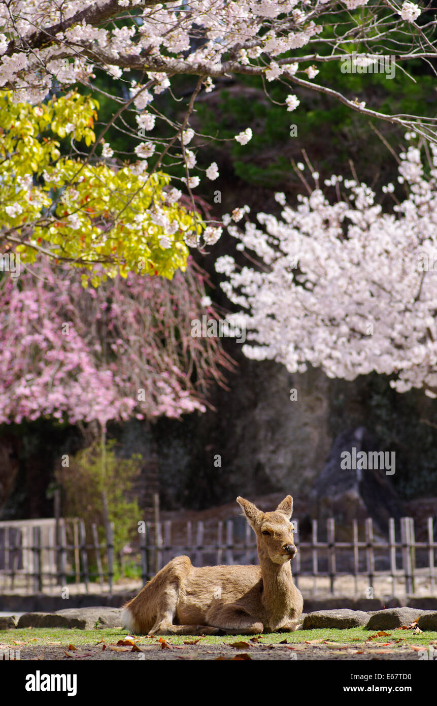 deer-resting-under-the-cherry-blossoms-i