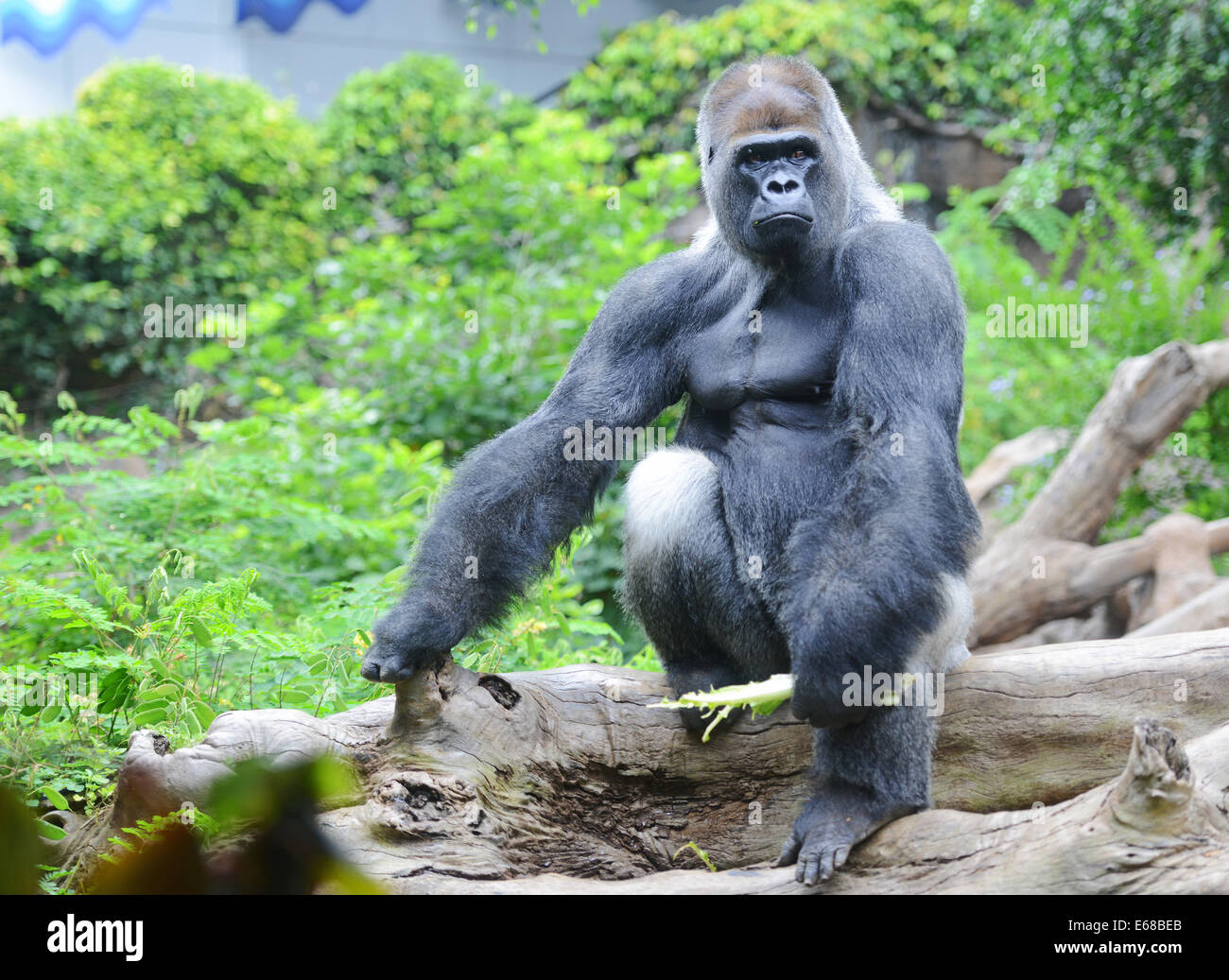 Name Of Animals In Hindi To English besides Public Locked In After Gorilla Escapes Enclosure At London Zoo 6191075 as well Earth Day 2012 Cartoon Animal Kingdom together with Tattoo animal tattoos instagood furthermore Orangutan. on animal image gorilla