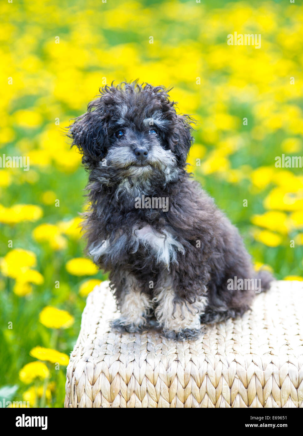 Platinum tea cup poodles for sale dog breeds picture - Toy Poodle Or Teacup Poodle Black And Tan Austria Stock Image