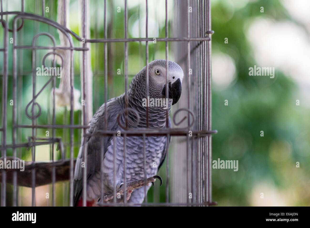 a-pet-african-grey-parrot-female-psittac