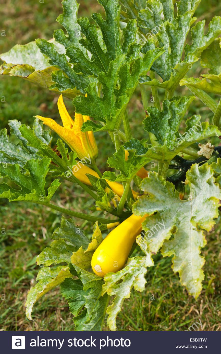 Organic Kitchen Garden Powdery Mildew On Courgette Gold Rush Fungus Kitchen Garden Plant