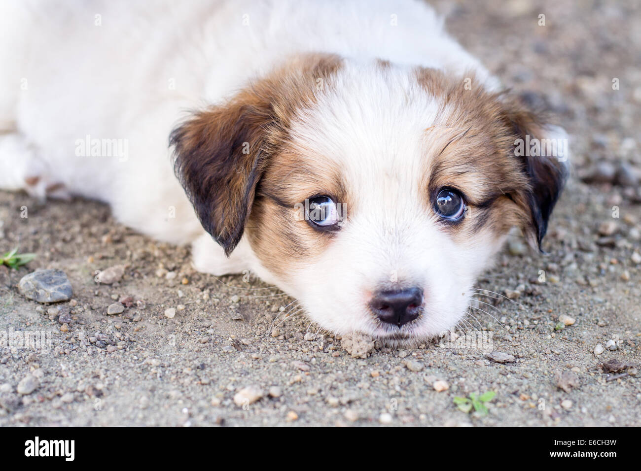 White adorable puppy with brown colored ears Stock Royalty