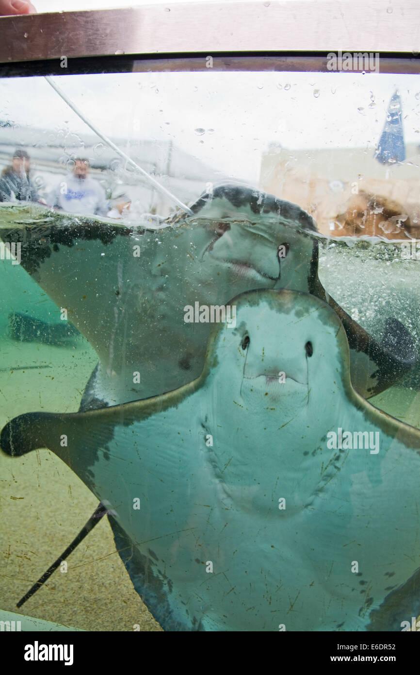 Feeding Bat Rays Aquarium Of The Pacific Long Beach Los