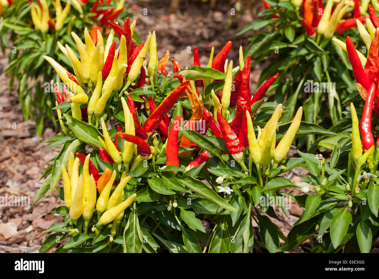 chilly chili capsicum annuum ornamental pepper plant usa stock photo royalty free image. Black Bedroom Furniture Sets. Home Design Ideas