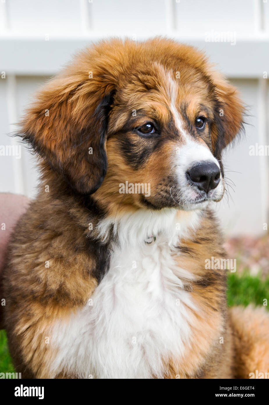 Twelve week old Bernese Mountain Dog Great Pyrenees mix breed