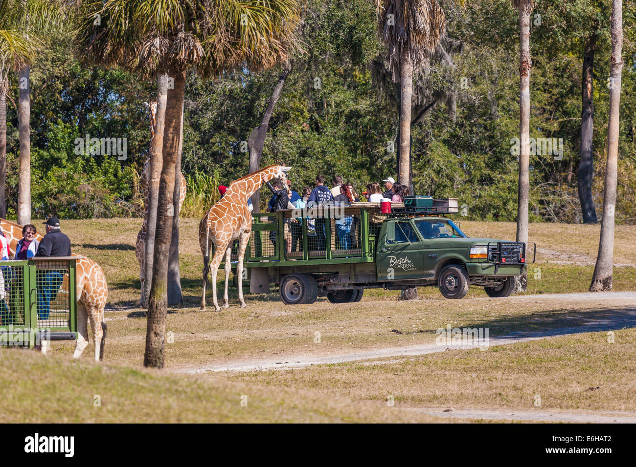 Park Guests Feed And Pet Giraffes On The Serengeti Safari Tour At