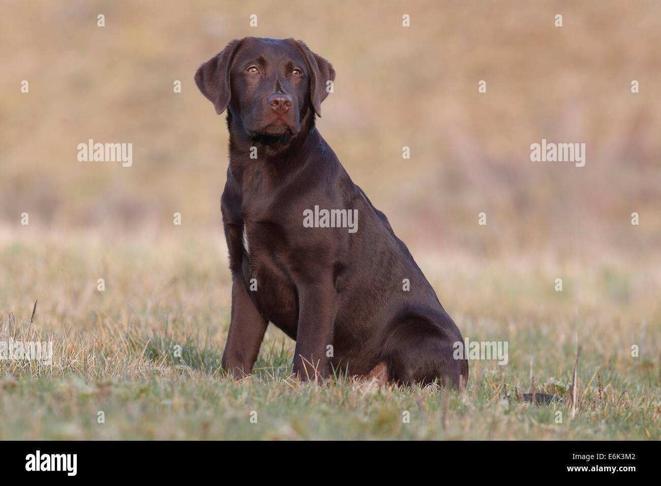 adult chocolate Labrador retriever sitting in water bucket Stock ...