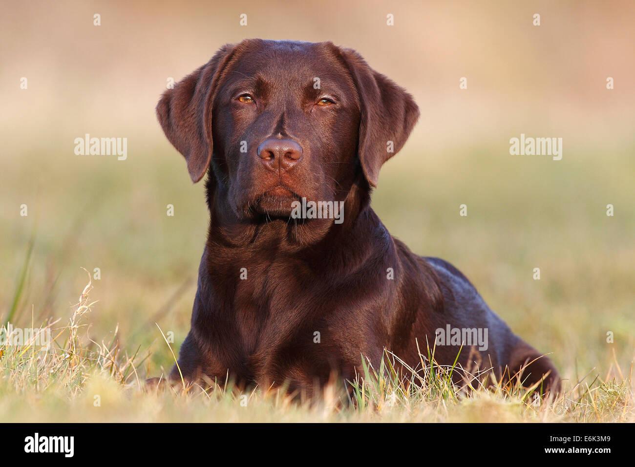 Chocolate Labrador In Grass Stock Photos & Chocolate Labrador In ...