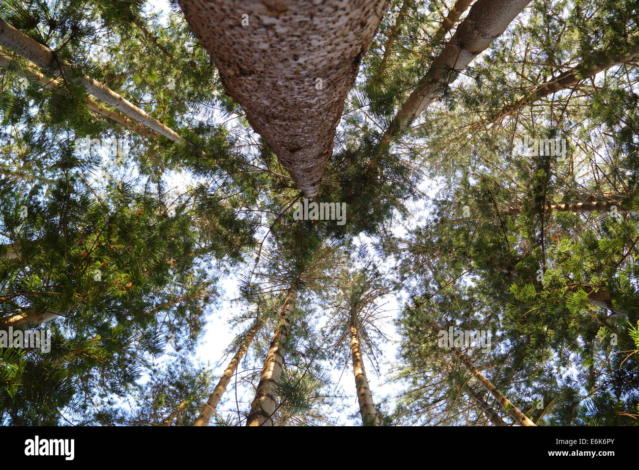 Looking up through the canopy of a stand of conifer trees in Fremantle Western Australia & Looking up through the canopy of a stand of conifer trees in Stock ...