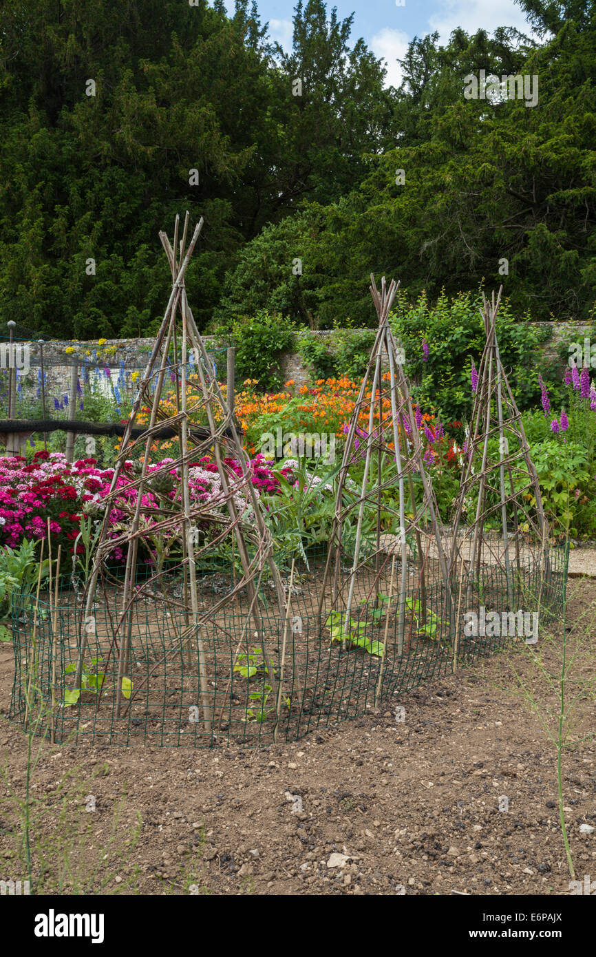 Green Beans Growing Up Garden Canes And Willow Forming Wigwam Shaped Frames  Within The Walled
