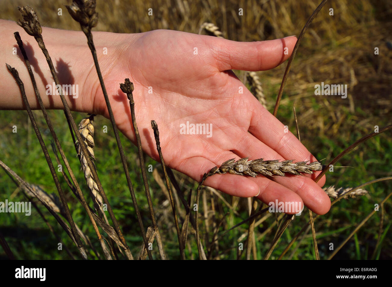Wheat Disease. Hand With Gray, Damaged Ear. Loss In Harvest ...