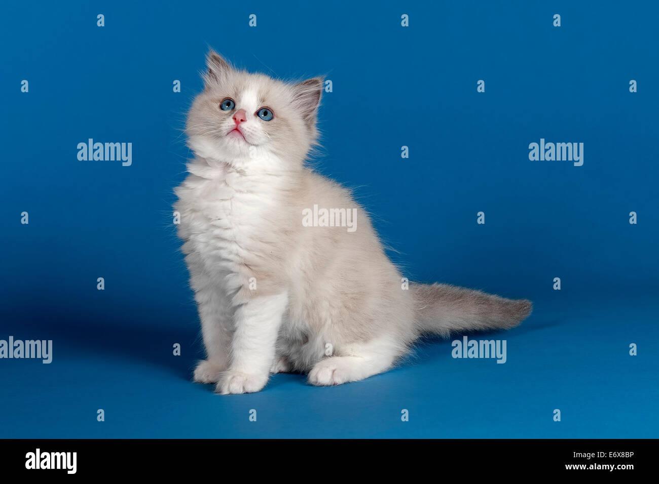 Ragdoll cat kitten 9 weeks blue bicolour Stock Royalty