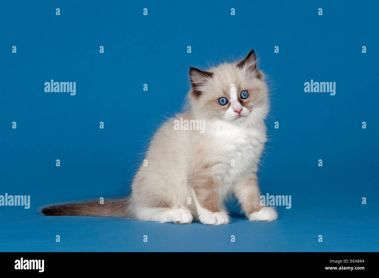 Ragdoll cat kitten 9 weeks Seal Mitted with blaze Stock