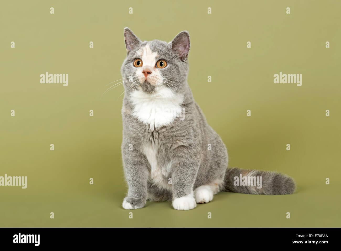 British Shorthair cat kitten 18 weeks coat colour blue cream