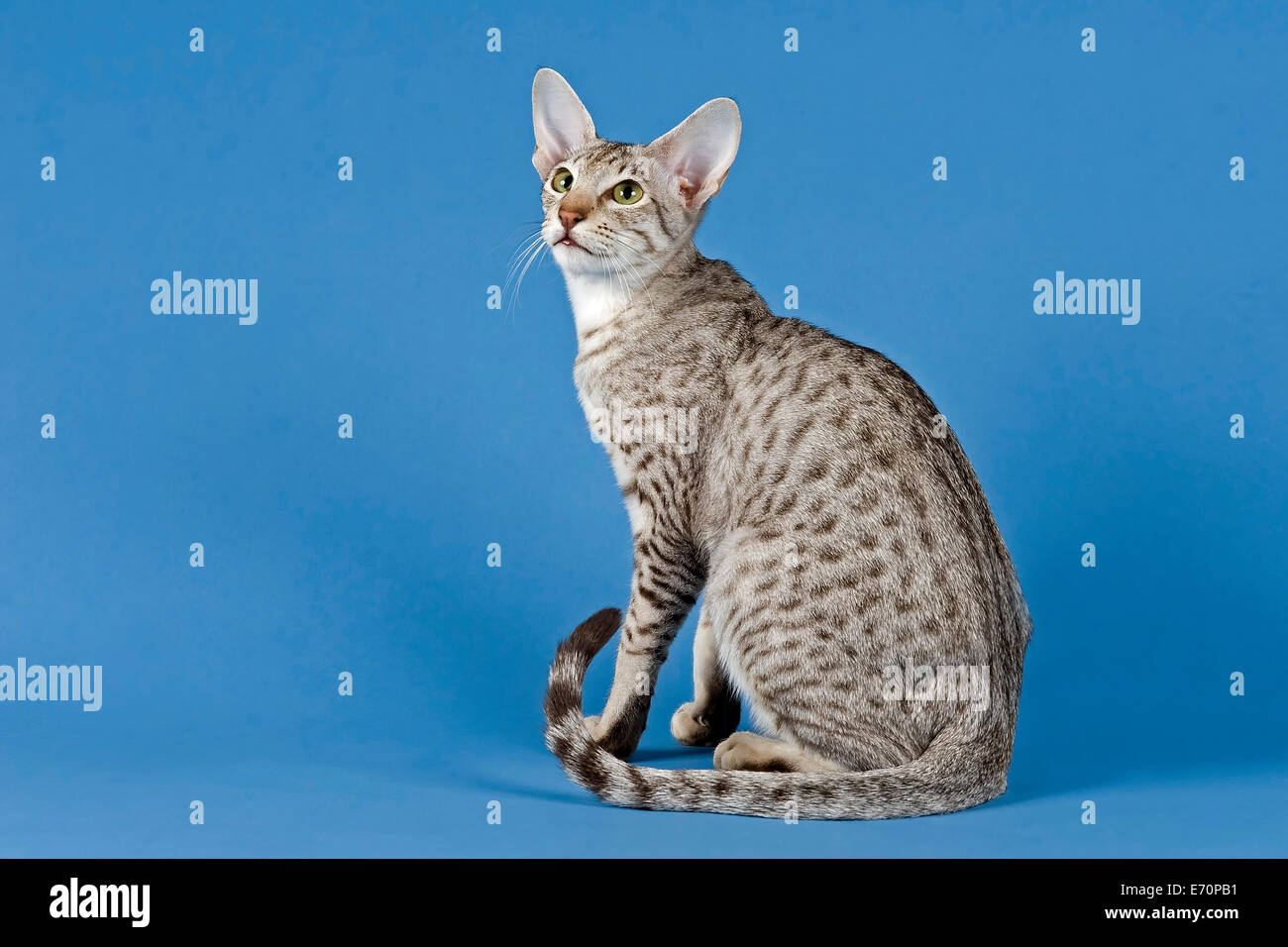 Pedigree cat Oriental Shorthair cat breed colour silver spotted