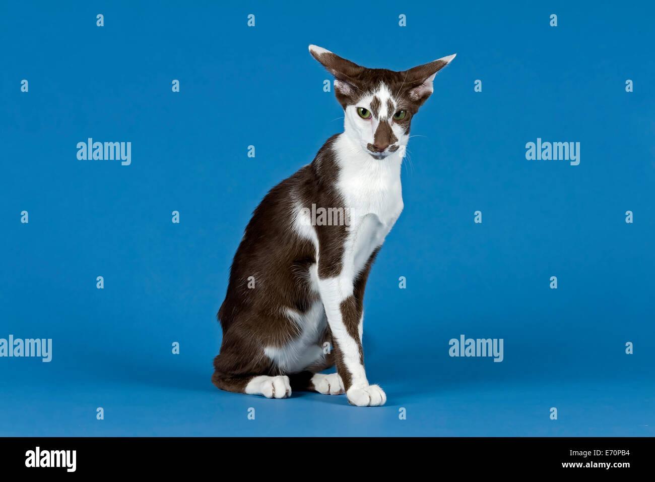Pedigree cat Oriental Shorthair cat breed colour chocolate