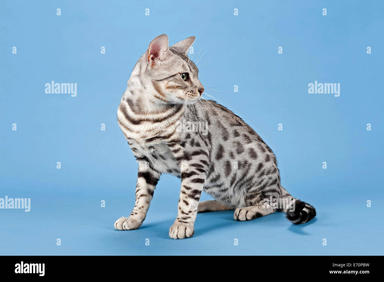 Bengal cat tomcat 14 months coat colour silver spotted Stock