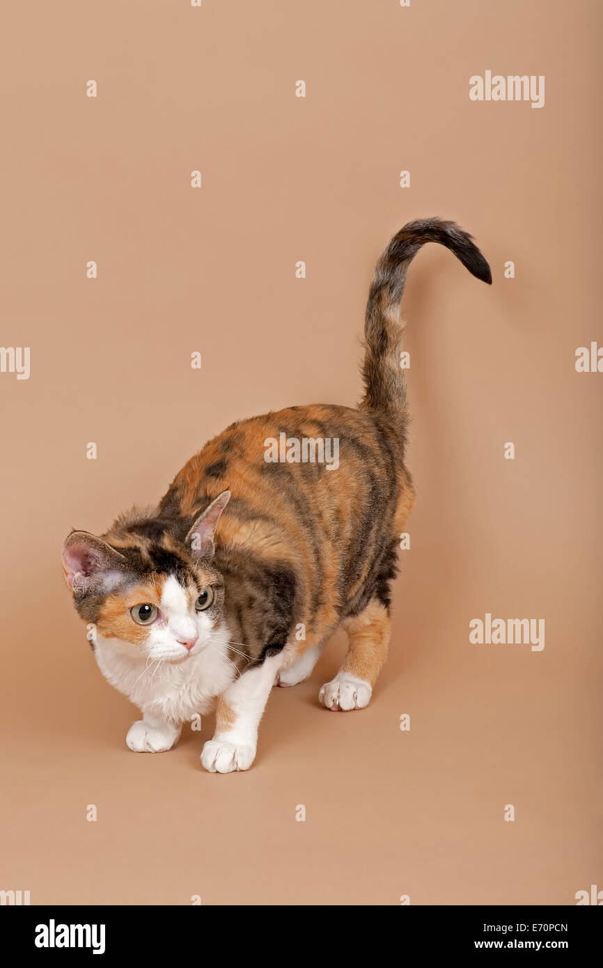 Devon Rex cat breed tricolour Stock Royalty Free Image