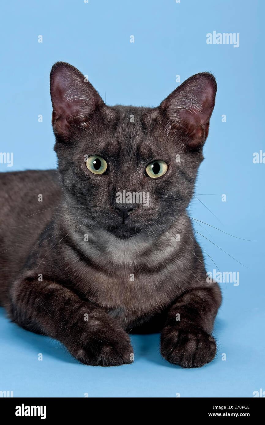 Egyptian Mau cat breed kitten colour black smoke Stock