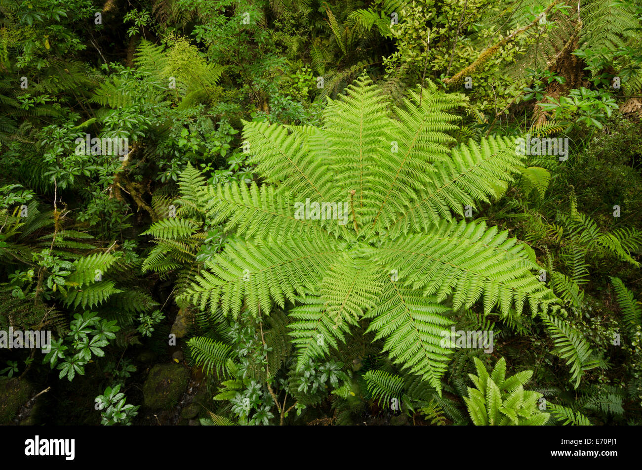 Rainforest vegetation with Tree Ferns (Cyatheales), bird's-eye ...