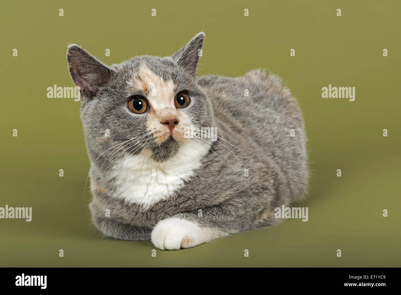 British Shorthair kitten 18 weeks blue cream and white fur