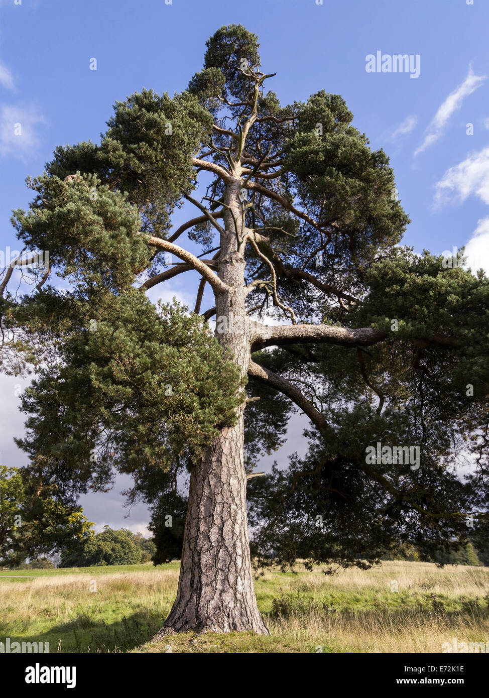 pine mature singles Pine trees are evergreen conifers that are in the pinus genus  40 pine trees from around the world  single-leaf pinyon pine.