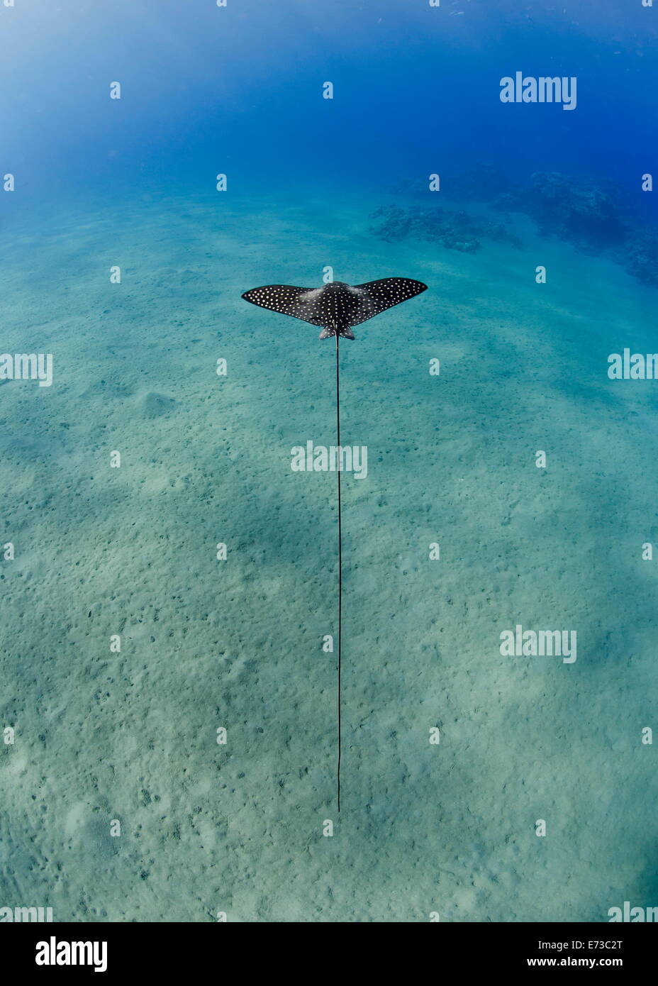 Spotted eagle ray coloring pages - Spotted Eagle Ray Juvenile Over Sandy Ocean Floor From Above Naama Bay Sharm