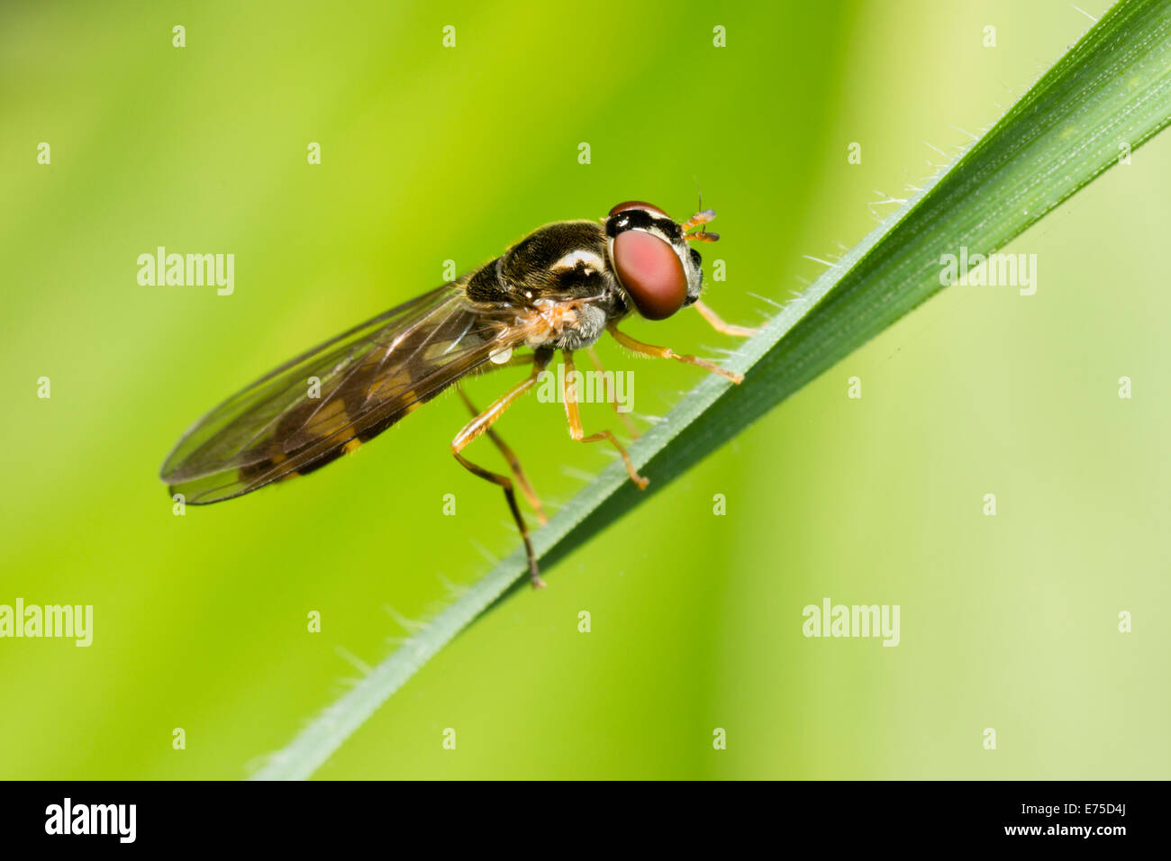 female-of-the-small-uk-hoverfly-melanost
