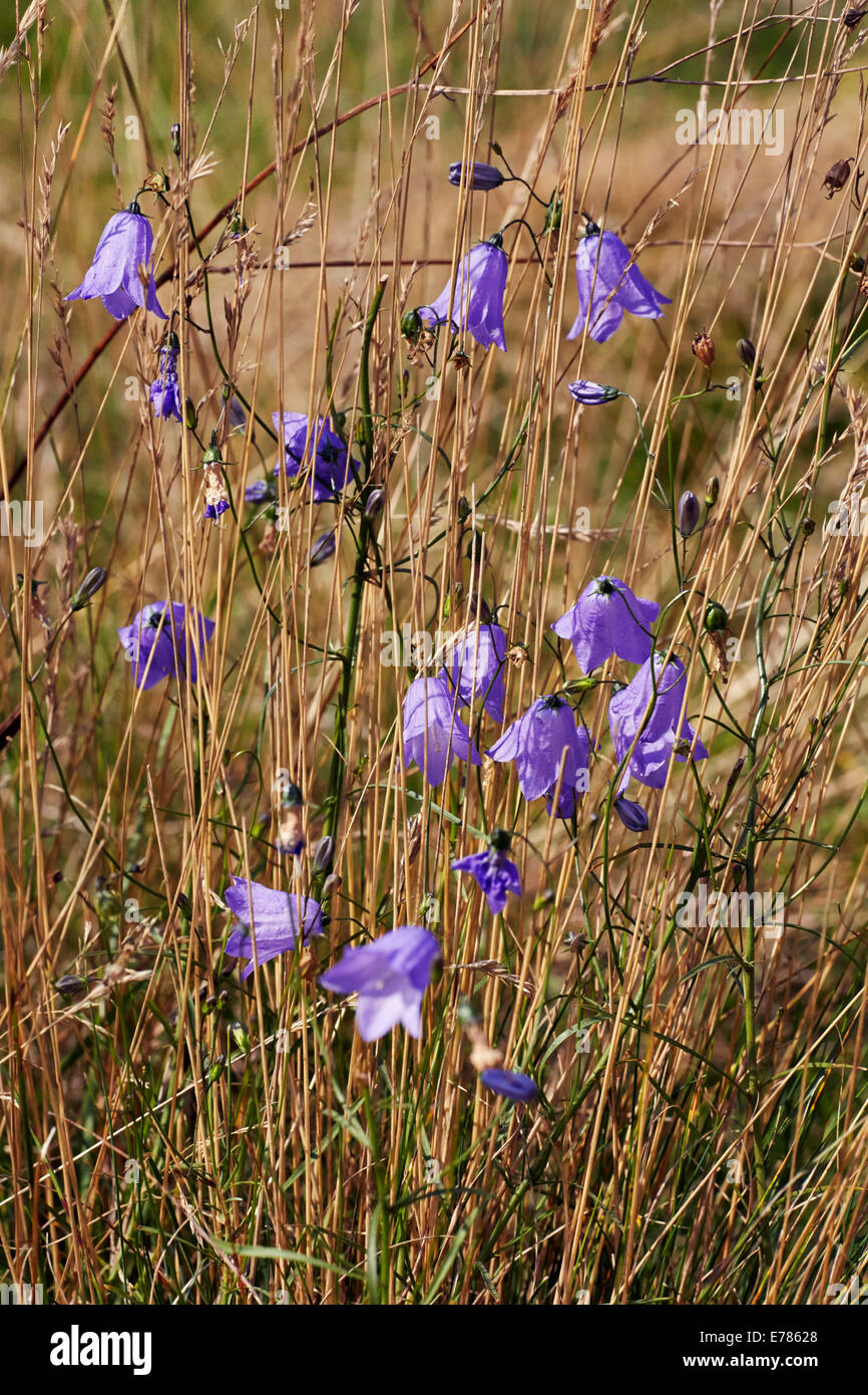 Harebell Flowering In Home Park Hampton Court Palace London